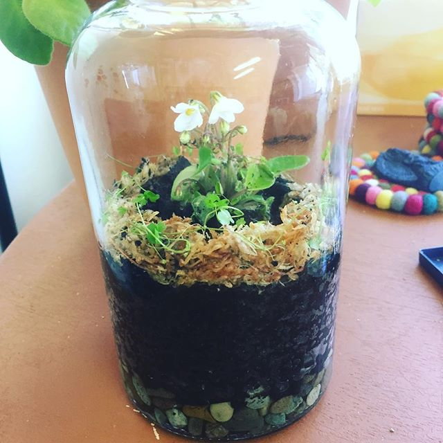 Mini African Violet with Hydrocotyle mini-japonica border day 0
